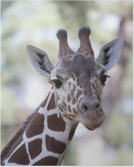 Poster Girafe