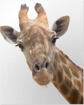 Poster Giraffe closeup