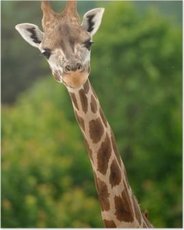 Giraffe head with neck Poster