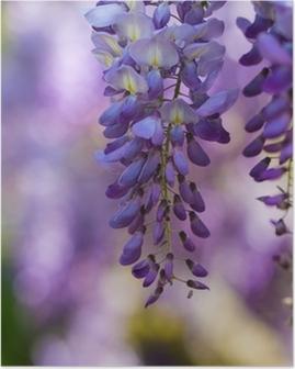 Glicine in fiore Poster
