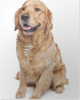 Poster Golden retriever