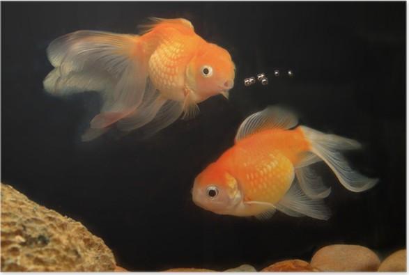 Goldfish Fish Aquarium Poster