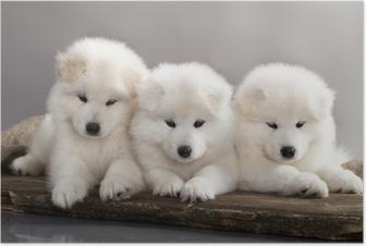 Poster Grappig puppies van Samojeed hond