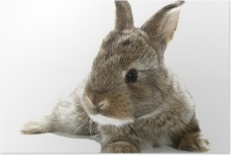 Gray rabbit bunny baby isolated on white background Poster