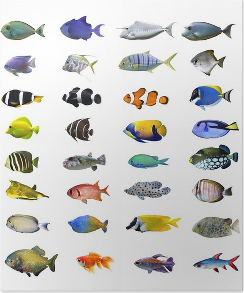 Great Tropical Fish Collection On White Background Poster