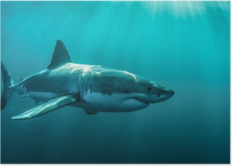 Great white shark underwater. Poster