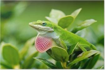 Poster Grön Anole ödla (Anoliscarolinensis) visar upp rosa hakpåsar