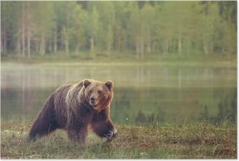 Poster Grote mannelijke beer lopen in het moeras bij zonsondergang