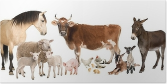 group of farm animals : cow, sheep, horse, donkey, chicken, lamb Poster