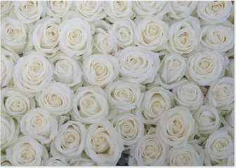 group of white roses after a rainshower Poster
