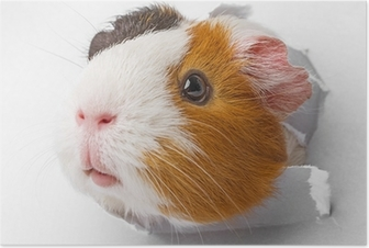 guinea pig looks through a hole in paper Poster