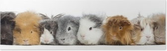 Guinea Pigs in a row, isolated on white Poster