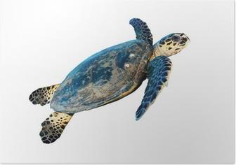 Hawksbill sea turtle (Eretmochelys imbricata), on white. Poster