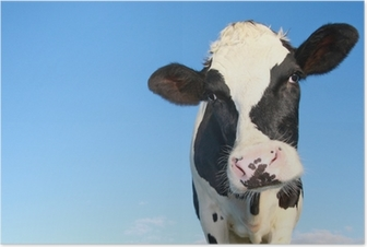 holstein cow against blue sky Poster