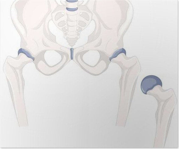 Póster Huesos de la cadera humana en estrecha hasta • Pixers ...