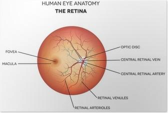 Human eye anatomy, retina Poster