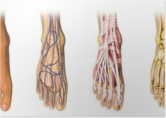 Human foot anatomy cross sections Poster