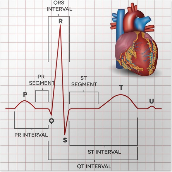 Human heart normal sinus rhythm and heart anatomy Poster • Pixers ...