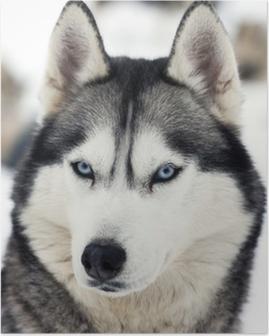 Poster Husky portrait
