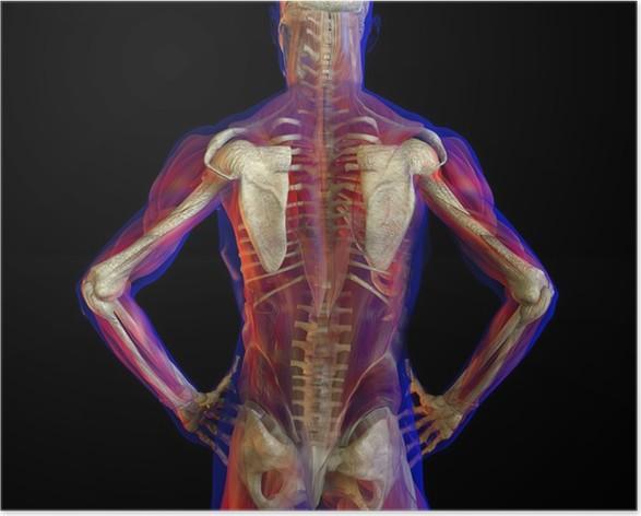 Póster Ilustración de rayos X de la anatomía humana y del esqueleto ...