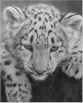 irbis, snow leopard (Panthera uncia) Poster