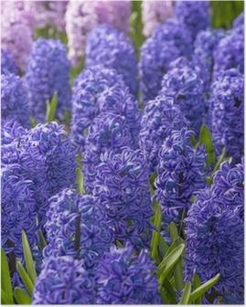 Póster Jacintos azules y rosas en el jardín