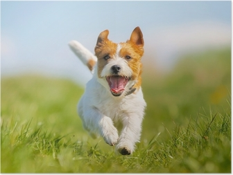 Poster Jack Russell Terrier chien