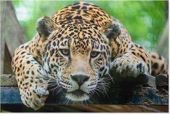 Poster Jaguar Amérique du Sud
