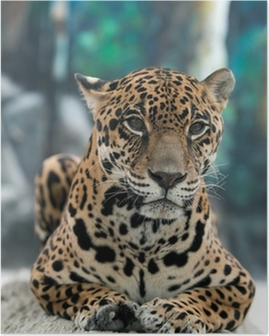 Poster Jaguar - Pantheraonca