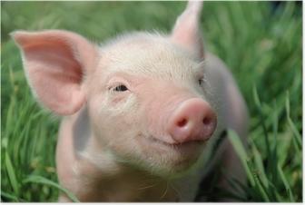 Poster Jonge varkens op een groen gras
