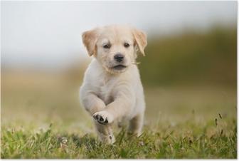 Poster Jumping golden retriever puppy