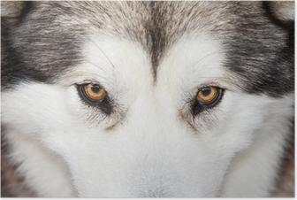 Poster Kijkend naar een Husky