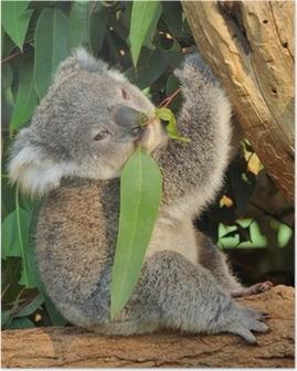 Poster Koala joey eet eucalyptus blad