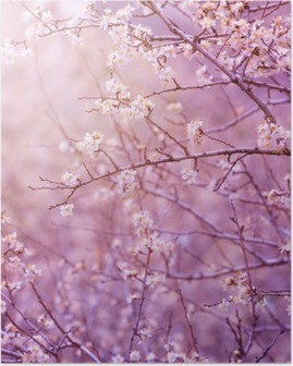 Poster Körsbärsträd blommar