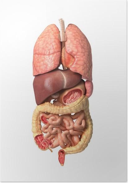 Póster La anatomía humana masculina, los órganos internos por sí ...