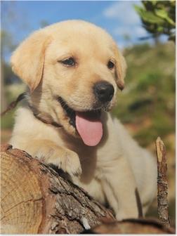 Poster Labrador chiot