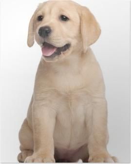 Poster Labrador puppy, 7 weken oud, voor witte achtergrond
