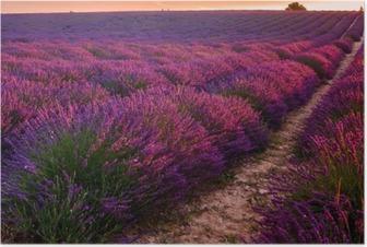 Lavender field on sunrise, Valensole plateau (France) Poster