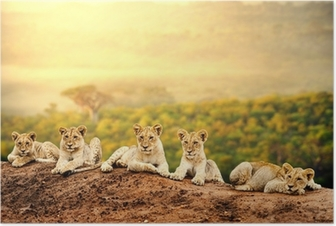 Lion cubs waiting together. Poster