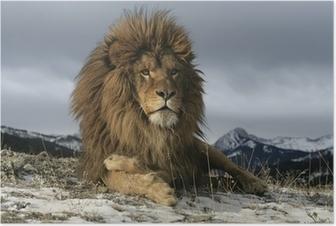 Poster Lion de Barbarie, Panthera leo leo