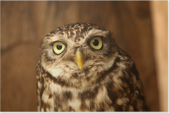 little owl Poster - Themes