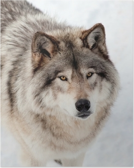 Póster Lobo gris en la nieve Mirando hacia arriba en la cámara