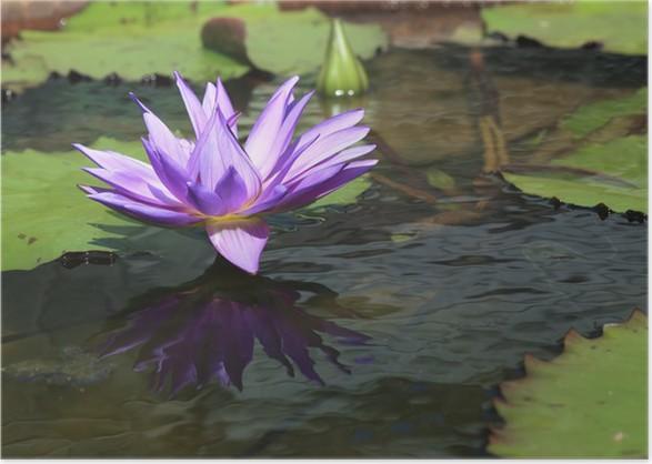 Lotus flower in pond tropical flower in garden poster pixers lotus flower in pond tropical flower in garden poster mightylinksfo