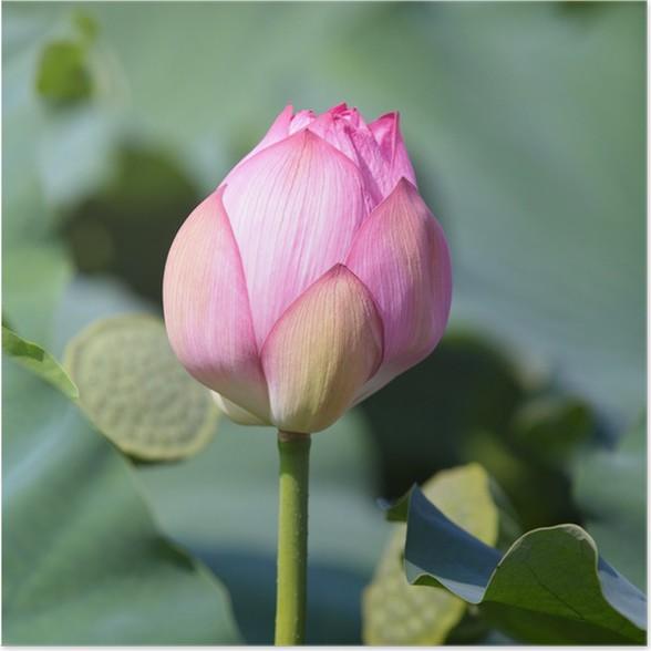 Lotus flower poster pixers we live to change lotus flower poster flowers mightylinksfo