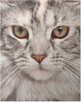 Poster Maine-coon close-up portret
