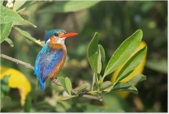 Poster Malachiet Kingfisher (Alcedo cristata)