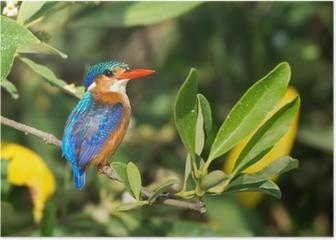 Malachite Kingfisher (Alcedo cristata) Poster