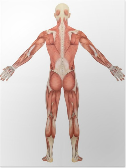 Male Muscular Anatomy Rear View Poster Pixers We Live To Change
