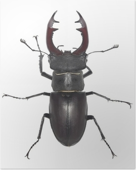 Male stag beetle, Lucanus cervus isolated on white background Poster