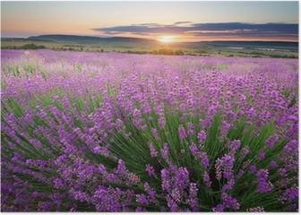 Meadow of lavender Poster